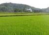 Bảo Lâm đã gieo trồng được 2.367,5 ha lúa, đạt 100,53% chỉ tiêu kế hoạch