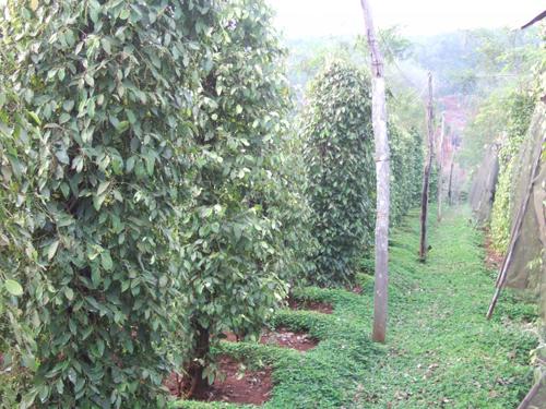 Trồng cây lạc dại bổ sung hữu cơ và vi sinh vật tốt cho đất