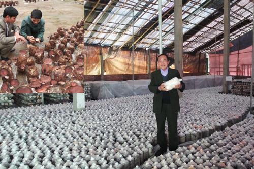 Công ty TNHH thương mại và xây dựng Nguyệt Hà đã phát triển thành công nguồn gen nấm hương rừng Cao Bằng