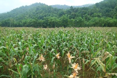 Tỷ lệ sử dụng giống ngô mới toàn huyện là 1.157,4ha. Ảnh minh họa.