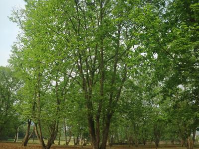 Vườn cây dẻ trội để lấy vật liệu nhân giống.