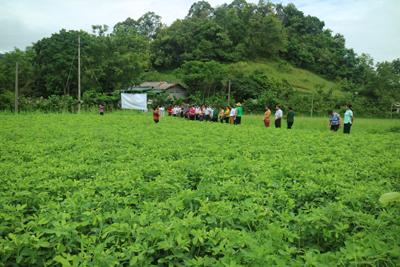 Diện tích trồng cây lạc đạt 251,08 ha/308,7 ha.