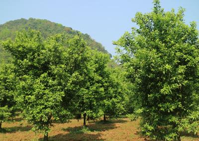 Vườn quýt đã được phục tráng tại xã Quang Hán, huyện Trà Lĩnh