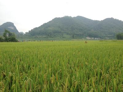 Các giống lúa mới được đưa vào sản xuất, nhằm tăng năng suất chất lượng sản phẩm.