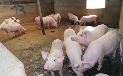 Ước tính đến tháng 7/2019, đàn lợn có 362.446 con, so với cùng kỳ năm trước tăng 1,11%, tuy nhiên dịch tả lợn Châu Phi đang có diễn biến phức tạp và cần thực hiện tốt công tác phòng, chống bệnh trên phạm vi toàn tỉnh
