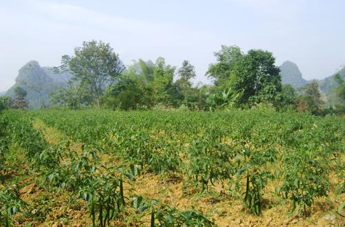 Hoa An phát triển vùng sản xuất ớt được nhân rộng theo hướng hữu cơ. Ảnh HN