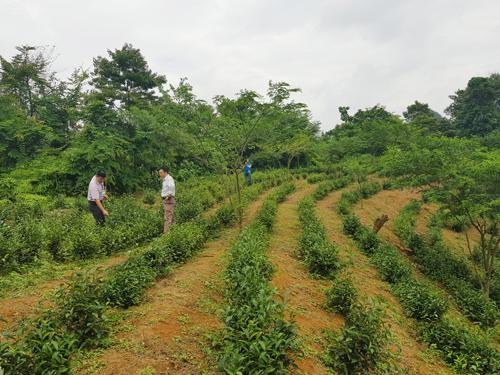 Mô hình trồng chè xanh chất lượng cao tại xã thị Ngân huyện thạch An đã đem lại những kết quả tốt