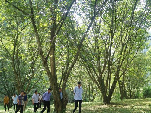 Khảo sát mô hình cây dẻ của hộ gia đình ông Ngọc Kiên Chất tại xóm Bản Đà, xã Đình Minh.