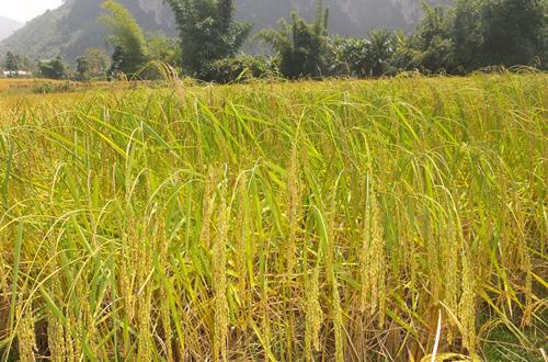 Lúa nếp hương Bảo Lạc